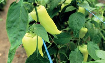 Čerstvá domáca zelenina v BIO kvalite z našej EKO záhrady, sterilizovaná zelenina, pretlaky, koreniny, džemy, hríby, med aj mak