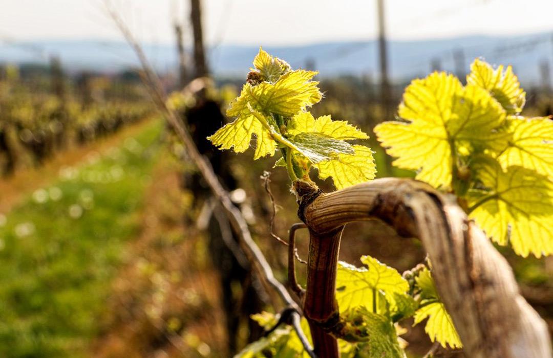 Vinohrady nám zrejú do krásy