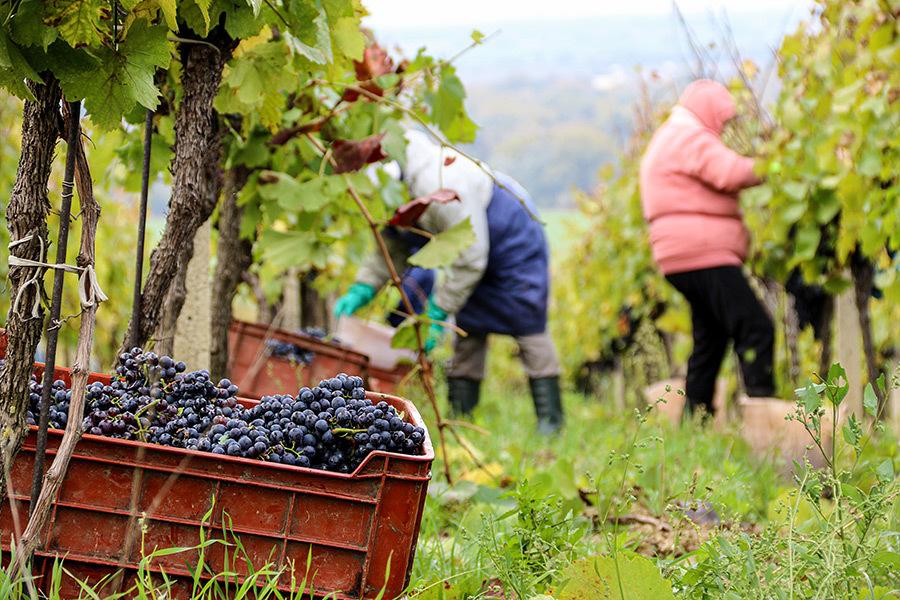 Rok 2020 v našich vinohradoch